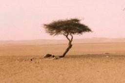 arbre-du-tenere